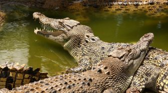 Search continues for 'missing' crocodiles